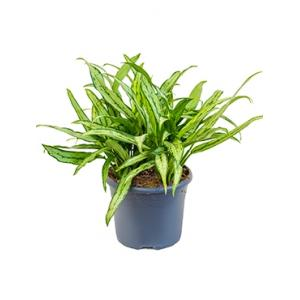 Aglaonema cutlass XL kamerplant