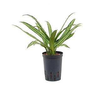 Aglaonema cutlass XS hydrocultuur plant