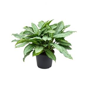 Aglaonema freedman L kamerplant