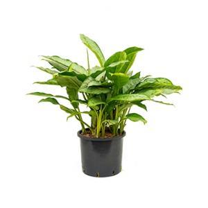 Aglaonema freedman XL hydrocultuur plant