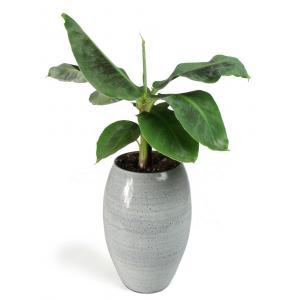 All in 1 kamerplant Bananenplant Musa dwarf cavendish XS in hoge cresta ice blue bloempot