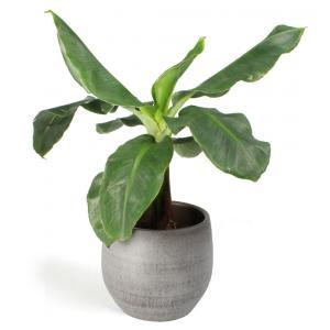 All in 1 kamerplant Bananenplant Musa dwarf cavendish XS in mystic grey bloempot