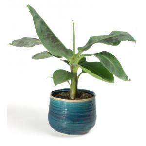 All in 1 kamerplant Bananenplant Musa dwarf cavendish XS in turqoise bloempot