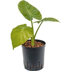 Alocasia calidora hydrocultuur plant