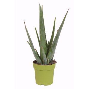Aloe Vera Plant P 15 cm