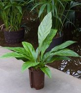 Anthurium Jungle bush (Hydroplant)