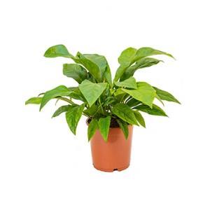 Anthurium jungle bush M kamerplant