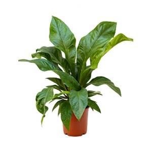 Anthurium jungle bush S kamerplant