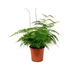 Asparagus plumoses S kamerplant
