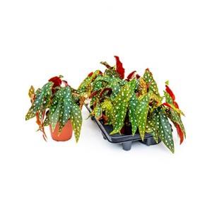 Begonia maculata stippenplant S kamerplant
