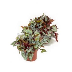 Begonia rex santos S kamerplant
