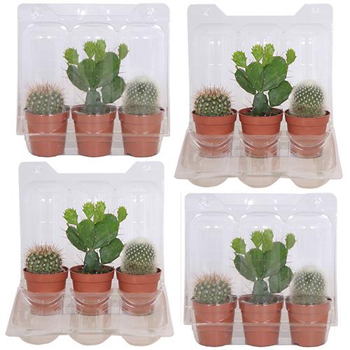 Cactus mini (4-pack)