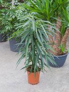 Ficus Alii 90 cm. (Kamerplant)