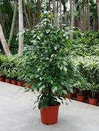 Ficus Benjamina 150 cm. (Kamerplant)