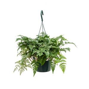 Humata teyermanii varen hangplant