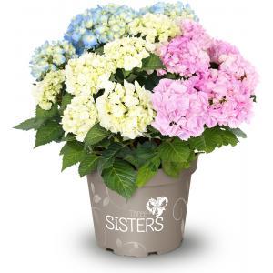 "Hydrangea Macrophylla ""Three Sisters""® Pastel boerenhortensia"