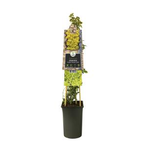 "Kleinbladige kardinaalsmuts (Euonymus fortunei ""Emerald 'n Gold"") klimplant"