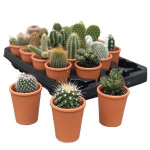Mini Cactus in Terracotta (20-pack)