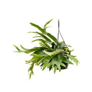 Platycerium bifurcatum hertshoornvaren hangplant