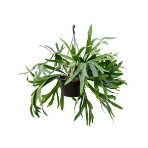 Platycerium bifurcatum hertshoornvaren kamerplant