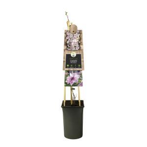 """Roze bosrank (Clematis """"Pink Fantasy"""") klimplant"""