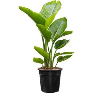 Strelitzia nicolai M kamerplant