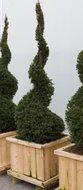 Taxus Baccata Spiraal tuinplant