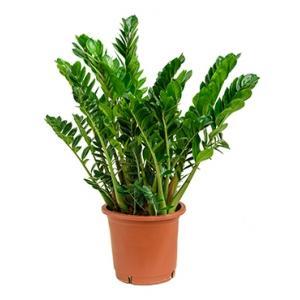 Zamioculcas zamiifolia L kamerplant