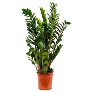 Zamioculcas zamiifolia S kamerplant