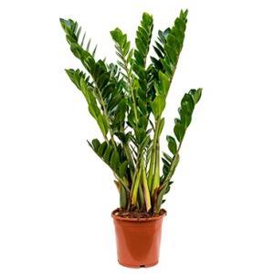Zamioculcas zamiifolia XS kamerplant