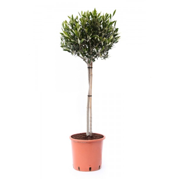 Olijfboom P 21 cm