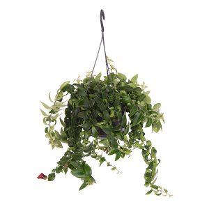 Aeschynanthus Rasta (hangplant) P 15 cm