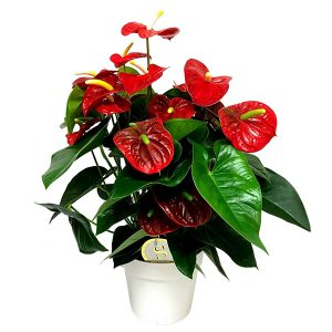 Anthurium 'Royal Champion' (Flamingoplant) P 21 cm