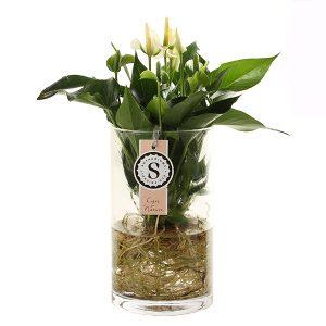 Anthurium in water (witte bloem) - P 12 cm