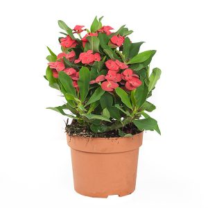 Christusdoorn (Euphorbia Milii) - P 12 cm