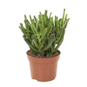 Crassula Ovata Hobbit (makkelijke kamerplant) - P 12 cm