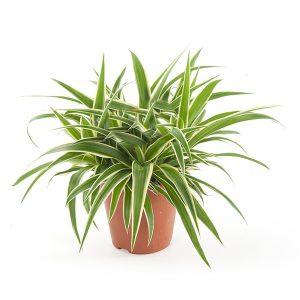 Graslelie (Chlorophytum comosum) - P 12 cm