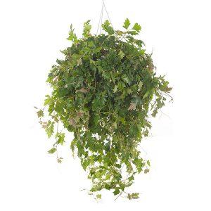 Koningswingerd (Cissus Rhombifolia 'Ellen Danica') P 24 cm