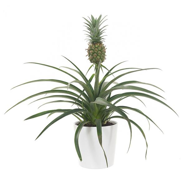 Ananasplant (in witte sierpot) - P 14 cm