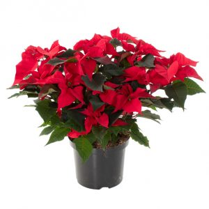 Kerstster plant rood (Poinsettia) - P 21 cm