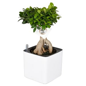 Ficus Ginseng (in pot + watermeter) - P 15 cm