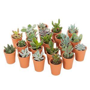 Mini vetplantjes in Terracotta (20-pack)