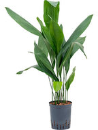 Aspidistra elatior 80 cm (Hydroplant)