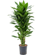 Dracaena Janet Lind 110 cm vertakt (Hydroplant)