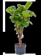 Ficus Lyrata op stam 140 cm (Hydroplant)