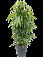 Ficus amstel king (Kamerplant)
