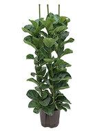 Ficus lyrata bambino 130 cm (Hydroplant)