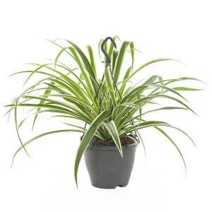 Graslelie hangplant (Chlorophytum Comosum) - P 18 cm