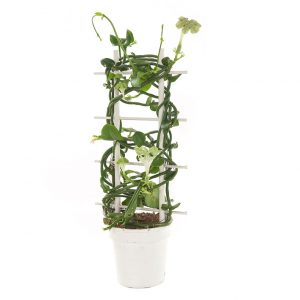 Parachuteplant (Ceropegia Sandersonii) - P 12