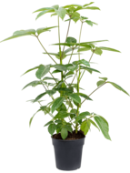 Schefflera amate 90 cm (Vingersboom)
